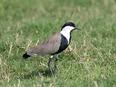Spur-winged Lapwing © Dave Nye